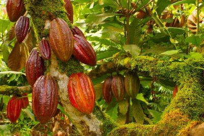 La-ruta-del-cacao-un-edén-para-niños